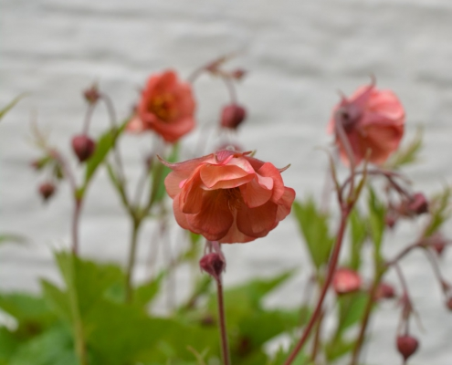 1_Geum-Salmon-Delight-2-495x400