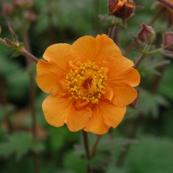 Geum-Citronge-PPAF-May-13-015-1-350x350